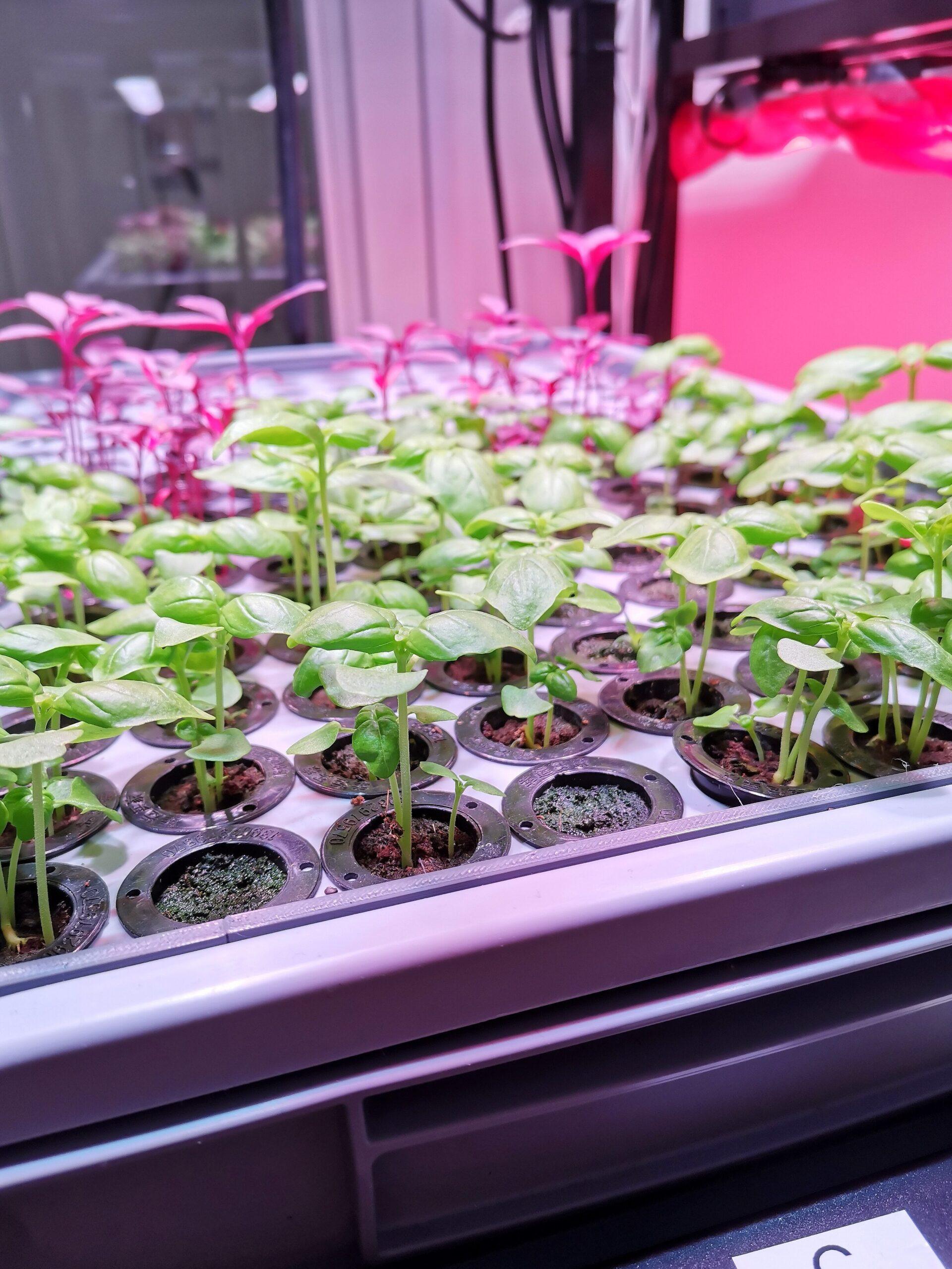 Et billede af unge basilikummer og amarantplanter i et growstacksystem.